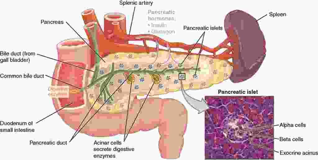 Picture of the Pancreas